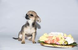De kampioen van Chihuahuapuppy van vele tentoonstellingen stock fotografie