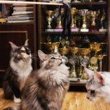 De Kampioenen Maine Coon van huiscattery royalty-vrije stock afbeelding