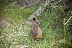 De Kangoeroe Australië van de moeraswallaby Royalty-vrije Stock Afbeelding