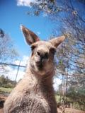 De kangoeroe bekijkt u Stock Fotografie