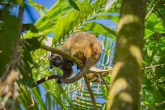 De Kangoeroe van de Bennettsboom stock fotografie