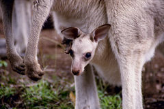 De Kangoeroe van de baby Royalty-vrije Stock Afbeelding