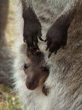 De kangoeroe van de baby Stock Afbeelding