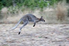De Kangoeroe van het hoppen Royalty-vrije Stock Afbeeldingen