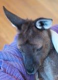 De kangoeroe van Orphaned Royalty-vrije Stock Afbeeldingen