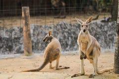 De kangoeroes leven in hun landbouwbedrijven in het bospark royalty-vrije stock afbeeldingen