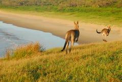 De Kangoeroes van het hoppen Royalty-vrije Stock Afbeelding