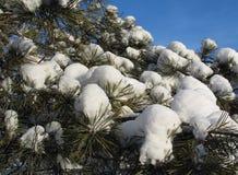 De kappen van de sneeuw op pijnboomtakjes - de winterachtergrond Royalty-vrije Stock Fotografie