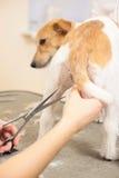 De kapper maait bont op de poten van Jack Russell Terrier Royalty-vrije Stock Foto's