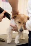 De kapper maait bont op de rug van Jack Russell Terrier Stock Foto's