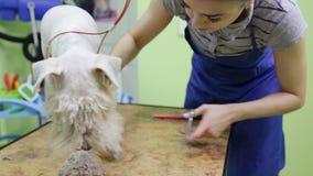De kapper maait laagfox-terrier op de poot stock videobeelden
