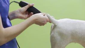 De kapper maait laagfox-terrier op de poot stock video