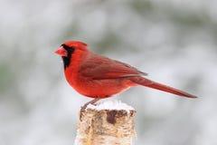 De Kardinaal van de de winterdag royalty-vrije stock afbeelding