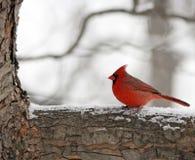 De kardinaal van de winter Stock Afbeeldingen