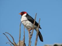 De Kardinaal van Pantanal Stock Foto