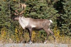 De kariboe pronkt met Stock Afbeeldingen
