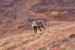 De kariboe stelt Royalty-vrije Stock Foto