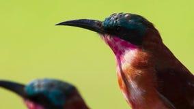 De karmijn bij-eters zijn buitengewone luchtjagers en deskundigen bij het vangen van insecten in mid-air, Savanne, Afrika royalty-vrije stock foto