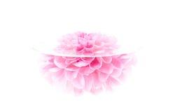 De karmozijnrode pioenbloem, sluit hoog, geïsoleerdm Royalty-vrije Stock Foto's