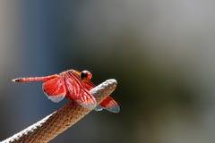 De Karmozijnrode Rode Libel van Neurothemisterminata Royalty-vrije Stock Foto's