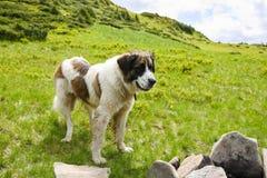 De Karpatische herdershond stock foto's