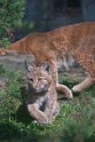 De Karpatische welp van de Lynx Stock Afbeeldingen