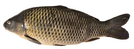 De karper van vissen Royalty-vrije Stock Foto