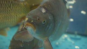 De karper zwemt in een aquarium stock video