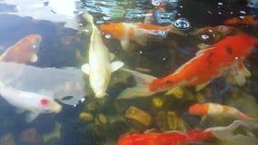 De karpers zwemmen in pool stock footage