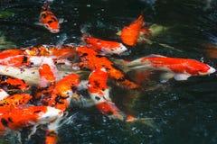 De karpervissen van Koi Stock Foto's