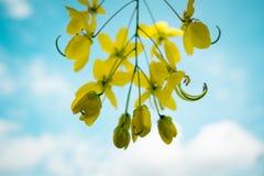 De kassieboomfistel bloeit achtergrond, selectieve nadruk Royalty-vrije Stock Fotografie