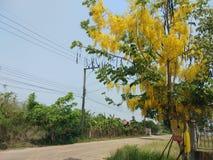 De kassieboomfistel, mooie geel, kan als achtergrondafbeelding worden gebruikt royalty-vrije stock fotografie