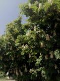 De kastanje is tot bloei gekomen Stock Foto