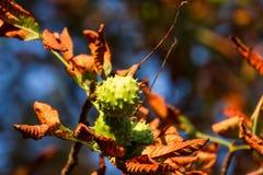 De Kastanje van de herfst Stock Fotografie