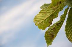De kastanjebladeren bebouwden dicht Een deel van reeks van 5 beelden Stock Foto