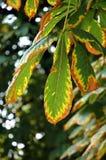 De kastanjebladeren van de herfst Stock Foto