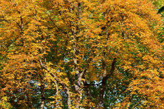 De kastanjeboom van de herfst Stock Afbeeldingen