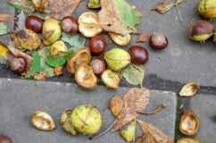 De kastanjebruna ekollonarna som faller till jordningen Royaltyfri Foto