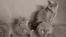De kat behandelt katjes stock video