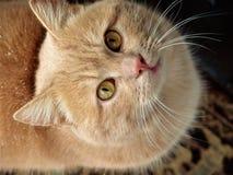 De kat bekijkt de eigenaar Stock Afbeeldingen
