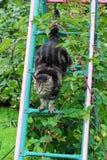 De kat beklimt een ladder opnieuw wordt verzonden die boven en beneden stock fotografie