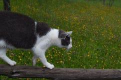 De kat die op een houten straal in evenwicht brengen Stock Foto's