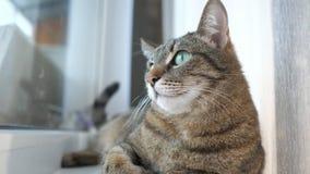 De kat die op de vensterbank en de blikken liggen uit het venster stock video