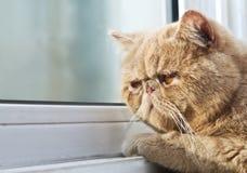 De kat die van de accountant uit door een venster kijkt Stock Foto