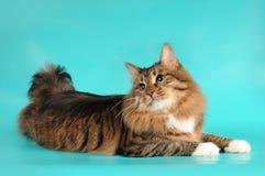 De kat die van de bobtail op turkooise achtergrond ligt Stock Fotografie