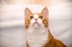 De kat die van de gember omhoog eruit ziet Royalty-vrije Stock Afbeelding
