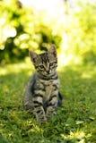 De kat die van de gestreepte kat de camera bekijkt Royalty-vrije Stock Fotografie