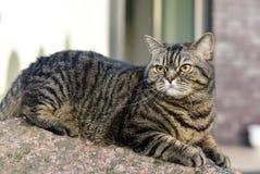 De kat die van de gestreepte kat de camera bekijkt Stock Fotografie