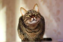 De kat die van de gestreepte kat de camera bekijkt Stock Foto