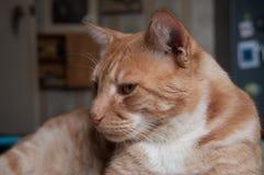 De kat die van de gestreepte kat de camera bekijkt Royalty-vrije Stock Foto's